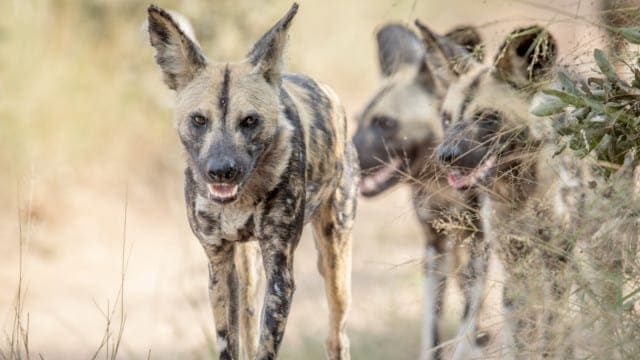 A Trifecta of Problems and Wild Dogs