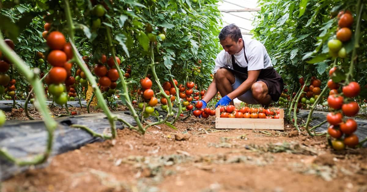 The High Cost of Cheap Tomatoes via Illegal Immigration