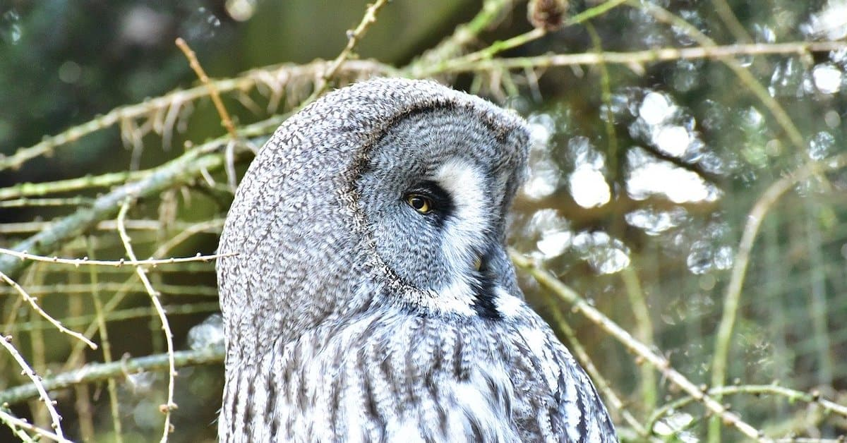 How the Snowy Owl is Impacted by CO2 and Climate Change